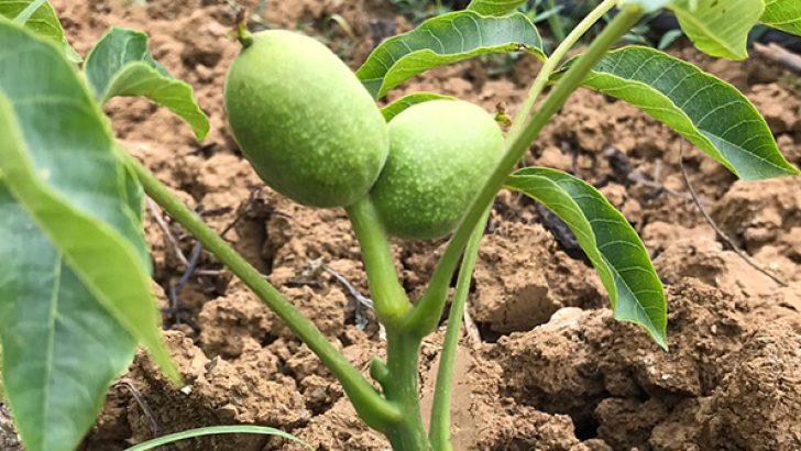 Aşılı Ceviz Fidanı Kaç Yılda Meyve Verir?