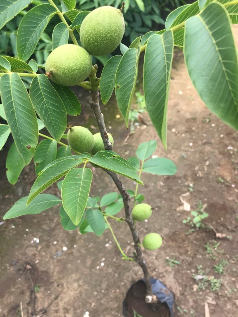 ilk yılda meyve chandler